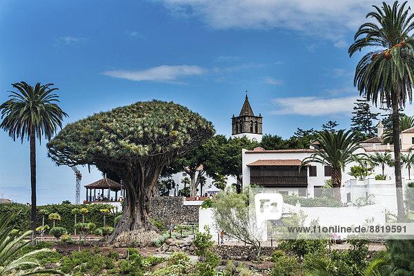 Drachenbaum dracaena Kanaren Kanarische Inseln Icod de los Vinos Spanien Teneriffa