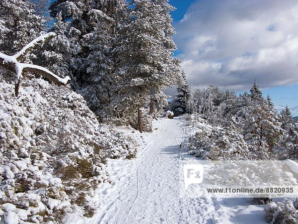 Snow-covered trees by ski resort  Font Romeu  Pyrenees-Orientales  Languedoc-Roussillon  France
