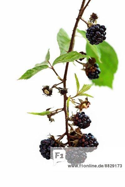 Wild Blackberries,  Blackberry (Rubus fruticosus)