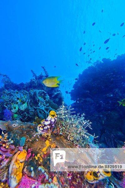 Coral Reef  Reef Building Coral  Bunaken National Marine Park  Bunaken  North Sulawesi  Indonesia  Asia.
