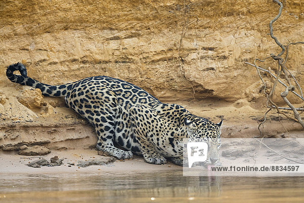 Südamerika  Brasilia  Mato Grosso do Sul  Pantanal  Cuiaba River  Jaguar  Panthera onca  Trinken