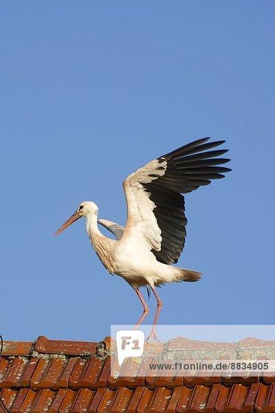 Deutschland  Nordrhein-Westfalen  Petershagen  Stork auf einem Dach stehend Deutschland, Nordrhein-Westfalen, Petershagen, Stork auf einem Dach stehend