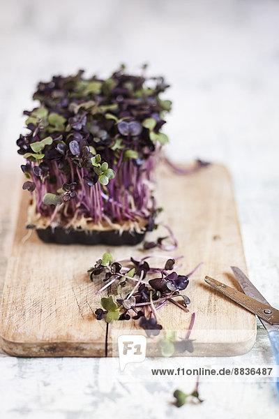Kunststoffbehälter aus violetter Rettichkresse auf Holzbrett mit Schere