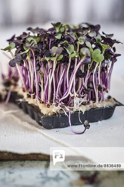 Kunststoffbehälter aus violetter Rettichkresse auf Holzplatte