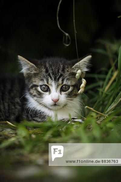 Portrait eines im Gras liegenden Tabby-Kätzchens