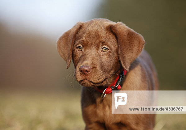 Porträt eines braunen Labrador-Welpen