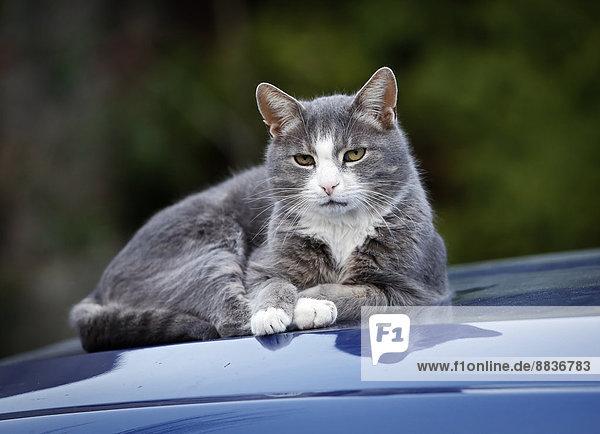 Katze (Felis silvestris catus) auf blauer Motorhaube liegend