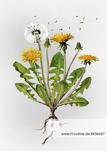 Löwenzahn (Taraxacum officinale)  Illustration