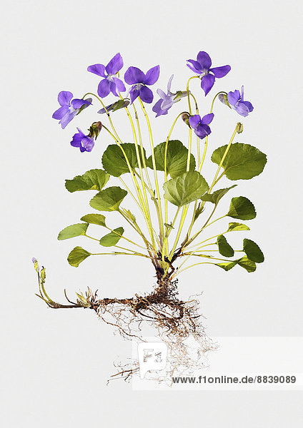 Veilchen (Viola odorata)  Illustration