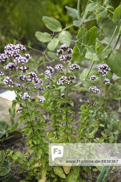 Wachstum  Pflanze  Garten  klein  Majoran  Kraut