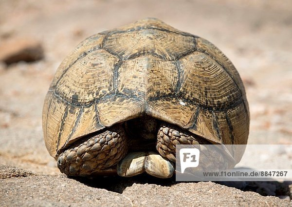 HARGEISA  SOMALILAND - NOVEMBER 30: land turtle hiding in its shell on rocky ground  in Somaliland  a former Somali province that declared independance right after the Somali Civil War in the early 1990´s  but whose independence is not internationally recognized yet  on November 30  2011 in Hargeisa  Somaliland. Formerly a British colony  Somaliland briefly reached its independence in 1960. It is one of the three Territories  with Puntland and former Italian Somalia that compose the current State of Somalia.