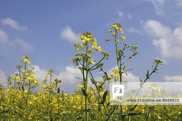 Blühender Raps (Brassica napus)  Schleswig-Holstein  Deutschland