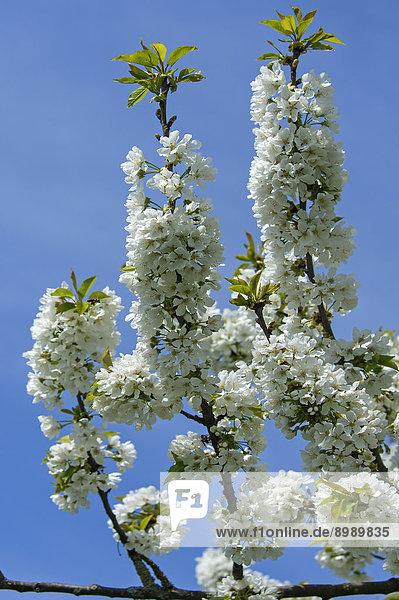 Kirschblüten (Prunus avium) gegen blauen Himmel  Bayern  Deutschland