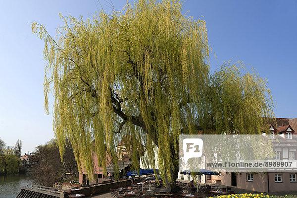 Große Trauerweide (Salix x sepulcralis)  Lauf an der Pegnitz  Mittelfranken  Bayern  Deutschland