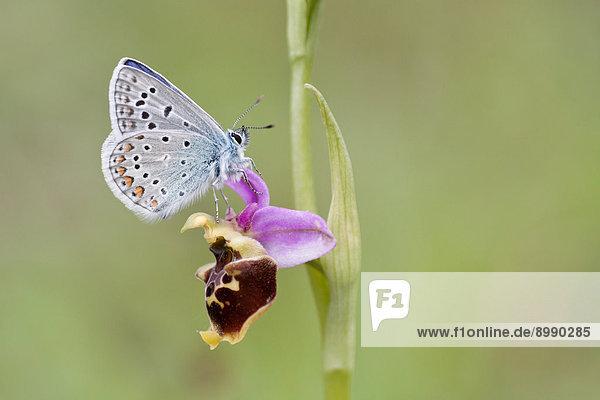 Hauhechelbläuling (Polyommatus icarus) auf Hummelragwurz (Ophrys fuciflora)  Nordhessen  Hessen  Deutschland