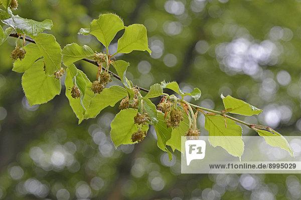 Blüten der Rotbuche (Fagus sylvatica)  Emsland  Niedersachsen  Deutschland