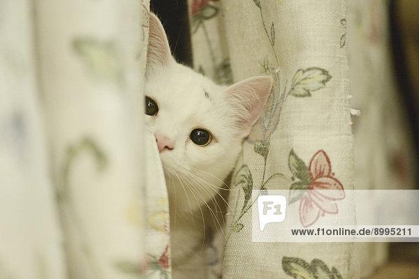 Katze schaut hinter einem Vorhang hervor Katze schaut hinter einem Vorhang hervor