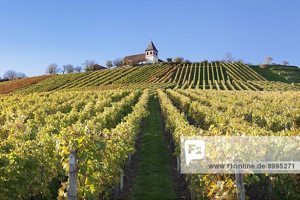 Weinberg im Herbst mit Michaelsberg und Michaelskirche  Cleebronn  Baden-Württemberg  Deutschland