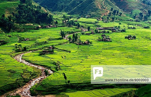 Buffaloes & rice fields in Sapa region  North Vietnam  Vietnam.