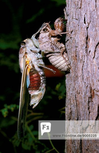 Green bunyip cicada newly moulted  Queensland and New South Wales  Australia
