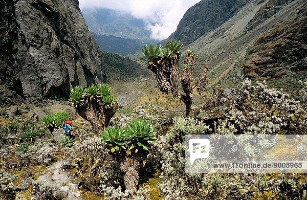 Trekking towards Lake Kitandara with giant alpine flora  Rwenzori Mountains  Uganda