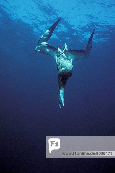 Wandering albatross hooked and drowned by longline fishing boat  Tasman Sea  Australia