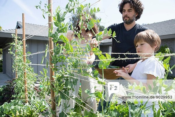 Familie mit einem Jungen bei der Erbsenernte im Garten