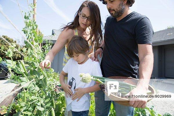 Familie mit einem Jungen beim Erbsenpflücken im Garten