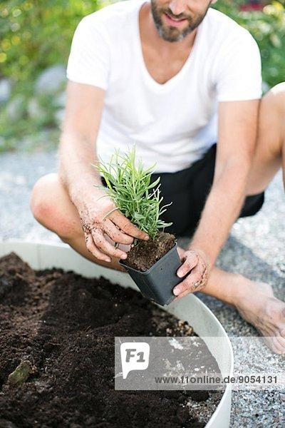 Mann  Pflanze  Mittelpunkt  Erwachsener  Lavendel  anpflanzen  Schweden