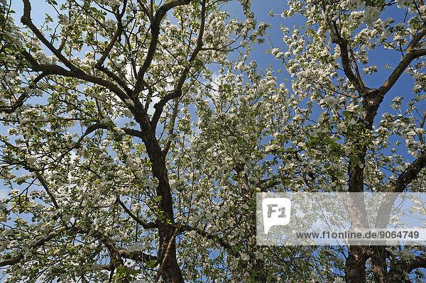 Blühender Apfelbaum (Malus)  Bayern  Deutschland