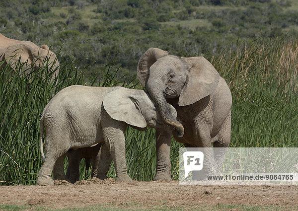 Afrikanische Elefanten (Loxodonta africana)  Jungtiere beim Spielen  Addo-Elefanten-Nationalpark  Ostkap  Südafrika