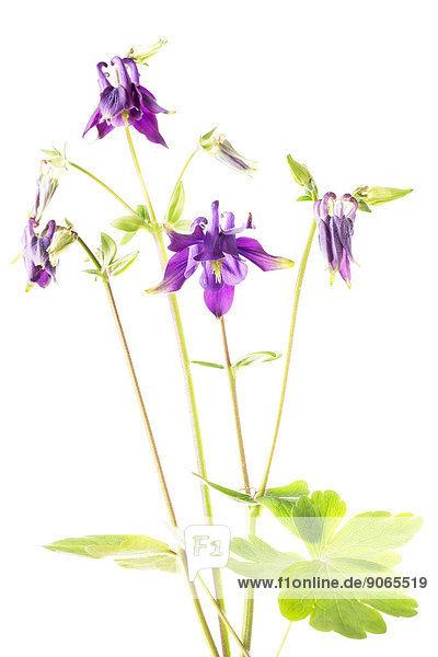 Gemeine Akelei oder Gewöhnliche Akelei (Aquilegia vulgaris)