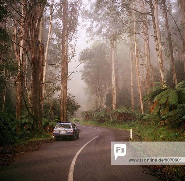 Road through Mountain ash (Eucalyptus regnans)  in mist  Yarra Ranges National Park  Victoria (east of Marysville)  Australia