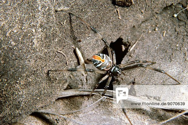 Redback spider (Latrodectus hasselti),  juvenile female,  the pattern on the abdomen will become black in the last moult,  Queensland,  Australia