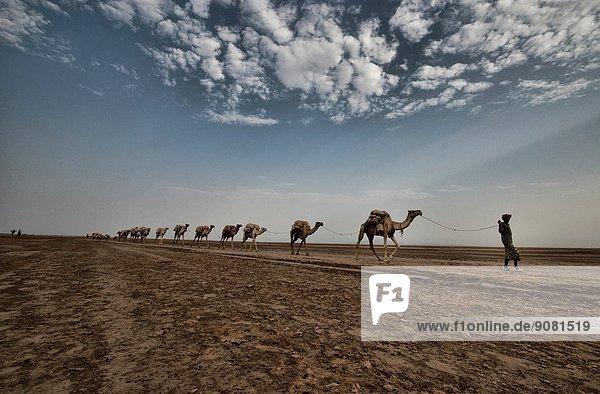 Camel caravans carrying salt through the desert in the Danakil Depression  Ethiopia.