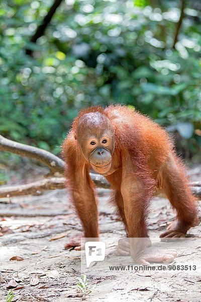 Asia Malaysia Borneo Sabah Sandakan Sepilok Orang Utan Rehabilitation Center Northeast Bornean orangutan (Pongo pygmaeus morio) young.