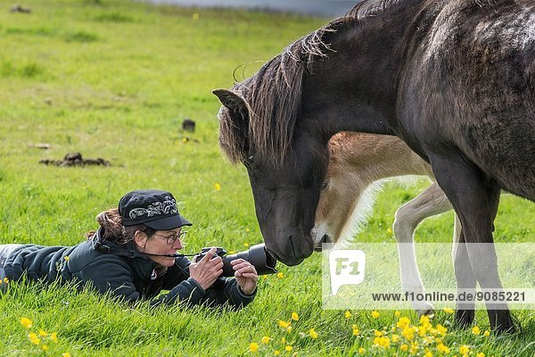 Woman photographing mare and newborn foal  Iceland.