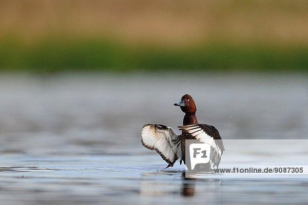 Ferruginous Duck - Aythya nyroca  Crete