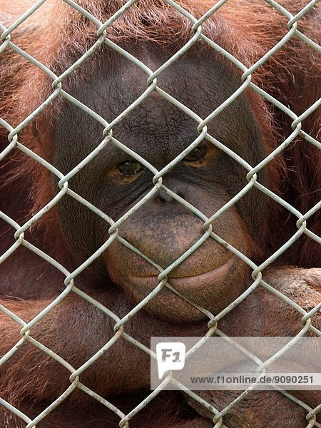 Sad looking orangutans looking through a wire fence,  UK