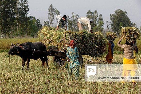 Mustard plant harvest  India