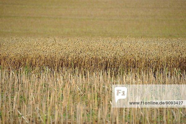 Getreidefeld.