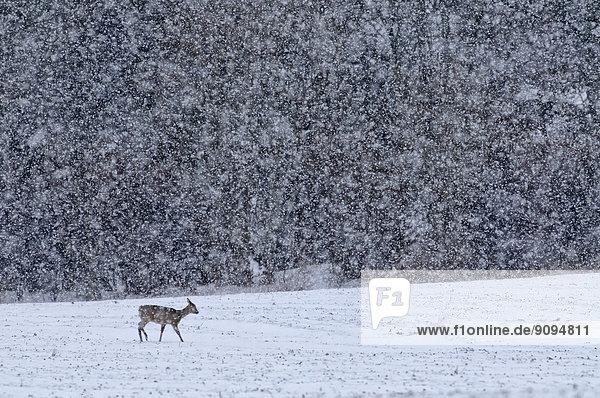 Deutschland  Schleswig-Holstein  Reh im Schnee
