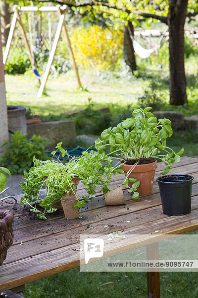 Holztisch mit Blumentöpfen  Kindertöpfen  Basilikum und Petersilie im Garten