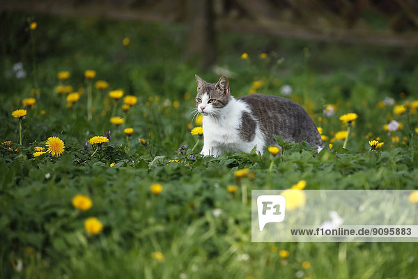 Deutschland  Baden-Württemberg  Grauweiße Katze  Felis silvestris catus  Spaziergang auf der Wiese