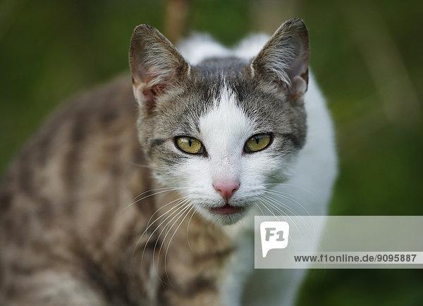 Deutschland  Baden-Württemberg  Grauweiße Katze  Felis silvestris catus  Portrait