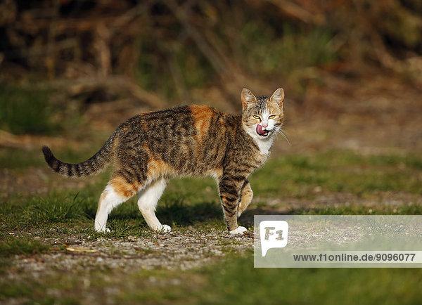 Deutschland  Baden-Württemberg  Rotbraun getigerte Katze  Felis silvestris catus