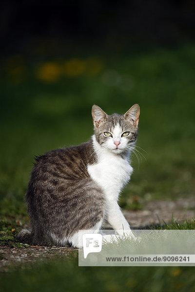 Deutschland  Baden-Württemberg  Grauweiße Katze  Felis silvestris catus  auf Wiese sitzend