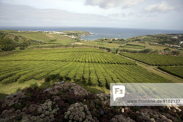 Einzige Teeplantage Europas  São Miguel  Portugal