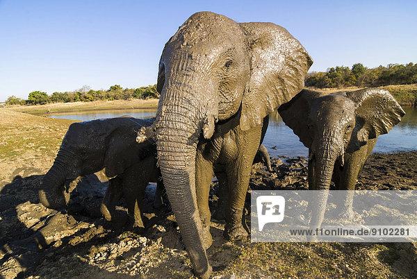 Afrikanische Elefanten (Loxodonta africana) beim Baden im Schlamm  EFAF-Center  Provinz Mpumalanga  Südafrika