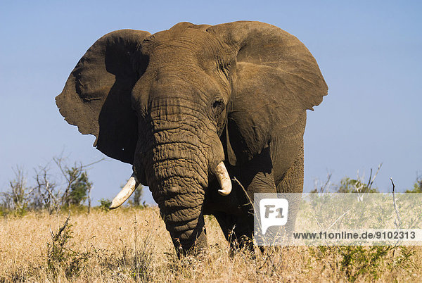 Afrikanischer Elefant (Loxodonta africana)  Krüger-Nationalpark  Südafrika